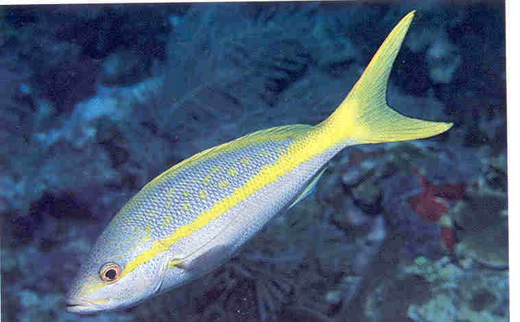 yellow-tail-snapper